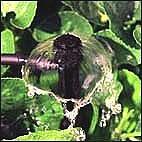 Bubbler öntözés közben